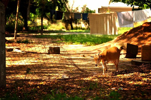 Domesticated Goats