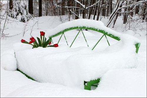 Tulips on bench