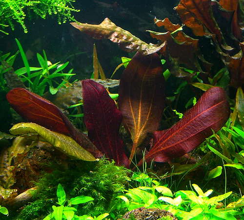 Echinodorus Dark Beauty