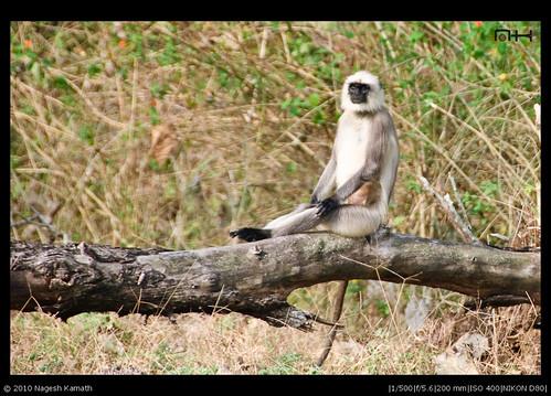 Resting Langur | Kabini