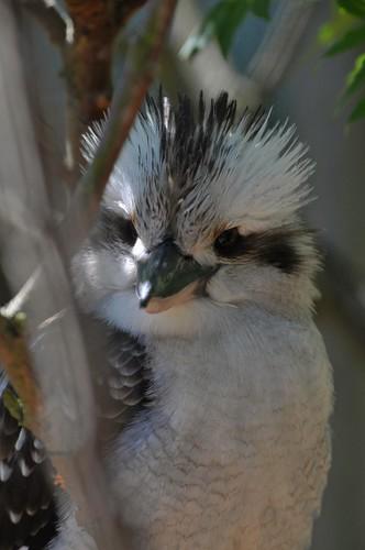Lachender Hans im Hamerton Zoo Prak
