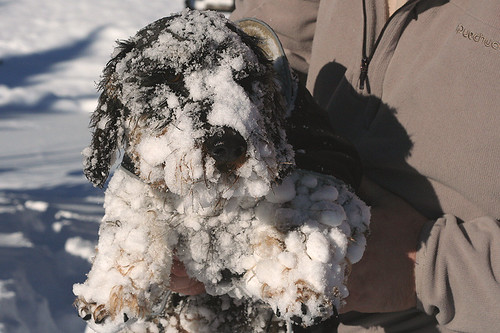 The abominable snowdoxie