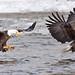 Eagles_8x30