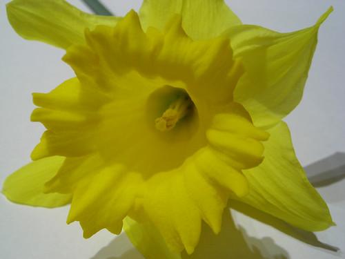 Daffodil {017/365}