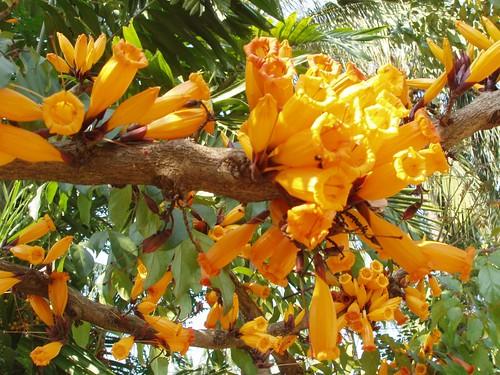 201103010080_unidentified-orange-flowering-tree