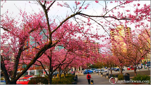 Cherry Blossoms near Metrotown