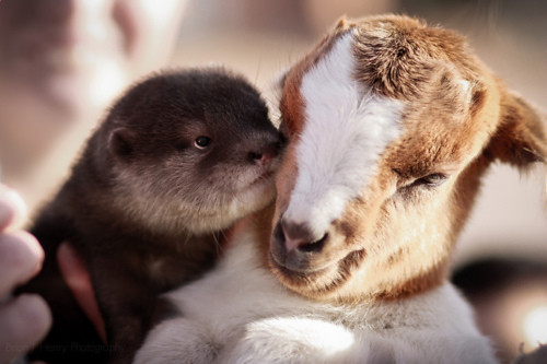 closeup of a baby otter with a brown and white baby goat. It looks as if the otter is kissing the kid on the cheek.