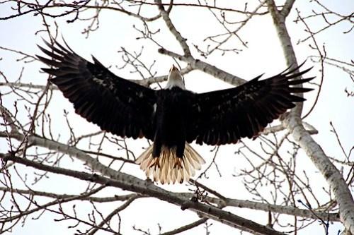 Bald eagle at Maury Island site