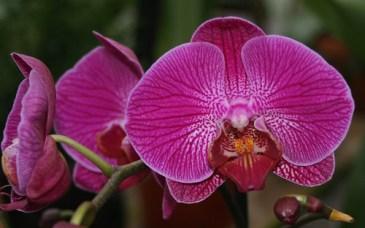 Orchid  - Lisa Greene, AAF, AIFD, PFCI