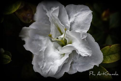 azalea bianca by Art Gamila