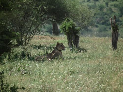 Tarangire - Tanzanie 2011 (227)