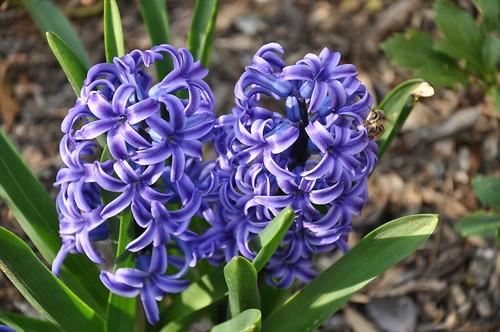 hyacinths + bee