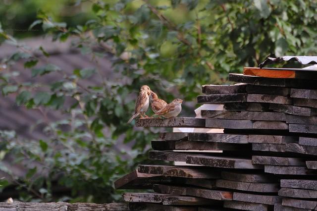 European family of sparrows