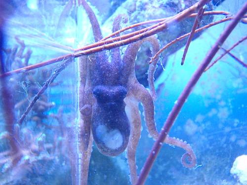 """Bali"" Octopus"