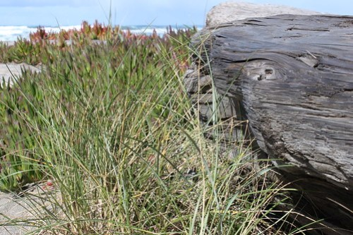 Sea Grass: Sea grass next to a piece of driftwood, the ocean in the background.