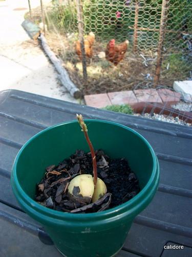 Avocodo Seedling