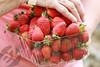Hand-Picked Beerenberg Strawberries