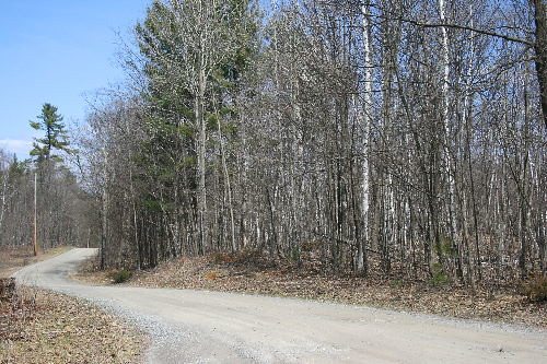 Birches along Canoe Lake Road