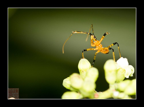 Assassin Bug by Dad Bear
