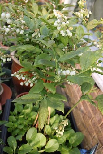 Blue Berry in Bloom by slijing