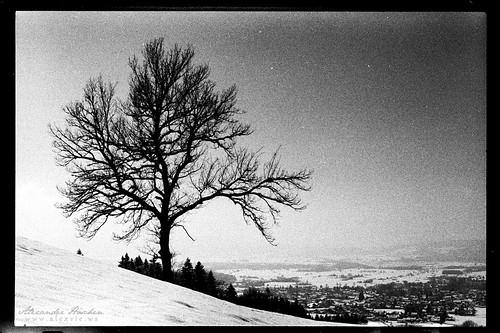 Straßbergbaum