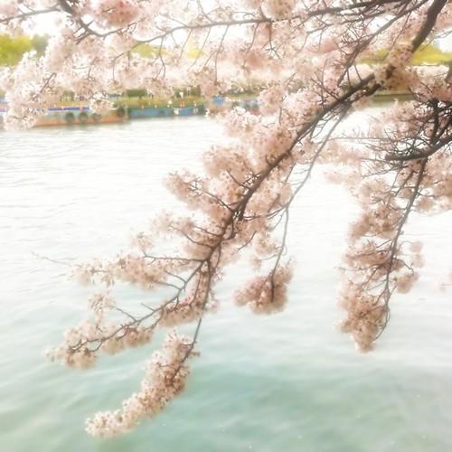 川面に揺れる。 お昼のひとときに、どうぞ! #sakura