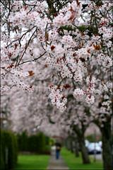 white sakura tunnel