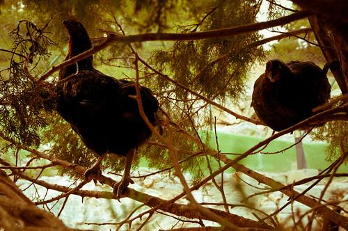 ¡Gallinas en los árboles!