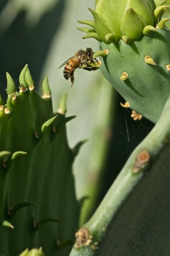 Bee on Cactus