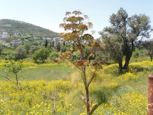 201104240062_wild-fennel
