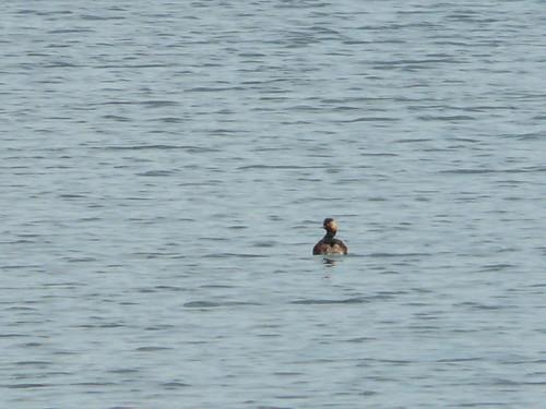 Black-necked Grebe (record shot)