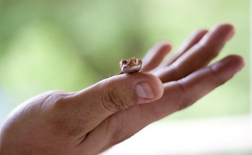 Palm Gecko