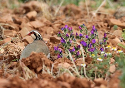 Red-legged Partridge (Alectoris rufa) 02 by Mike at Sea