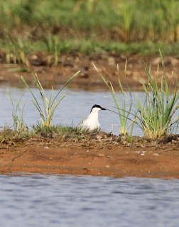 2011_05_04 PO - Gull-billed Tern (Gelochelidon nilotica) 01 by Mike at Sea