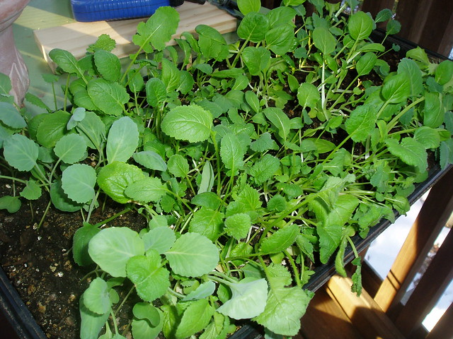 open lotus garden seedlings