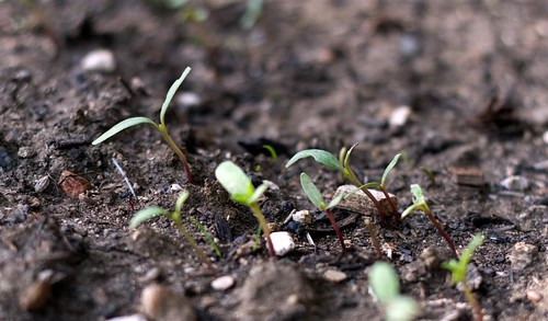 Marigold Seedlings (Large)