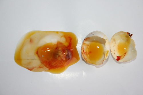 Mourning Dove embryo