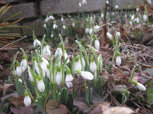 Snowdrop / Perce-Neige / Sněženka