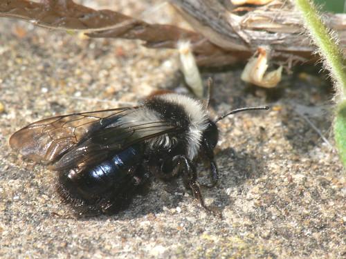 Andrena cineraria?