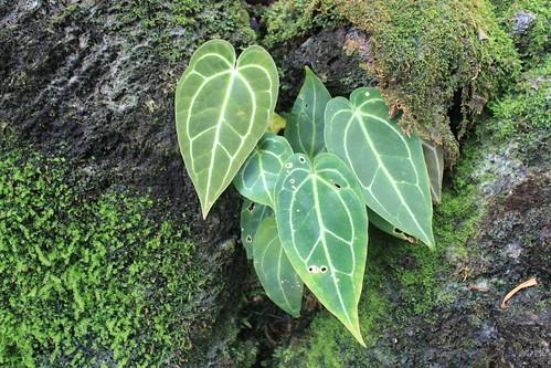 New York Botanical Gardens - Heart in Nature - Anthurium crystallinum