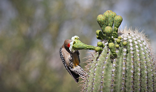 Gila woodpecker by SearchNetMedia