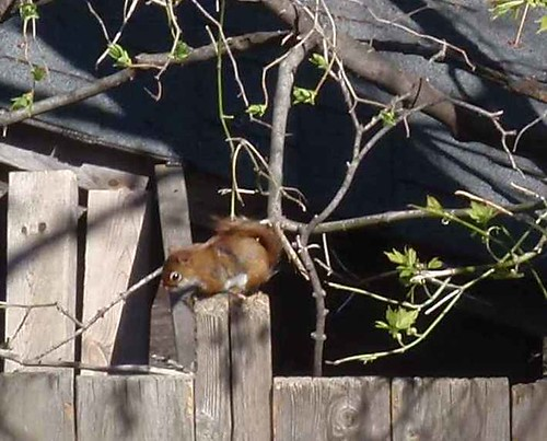 A small red squirrel sitting on a fence made of boards