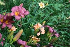 Prolific Burgundy Lilies