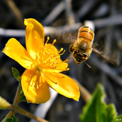Honey Bee Happy Dance