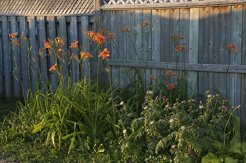 Common Daylilies