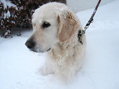 Golden retriever in the snow