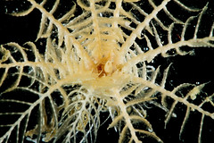 A close-up viwlooking into the body of a crinoid highlights the radial arms they use to capture food and swim through the water.