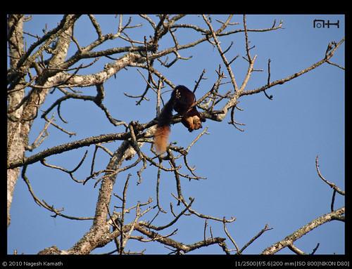 Malabar Giant Squirrel | Kabini
