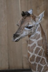 Rothschild Giraffe  im Gaia Park Kerkrade im August 2010