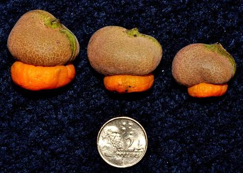 Semecarpus australiensis (Australian cashew nut)